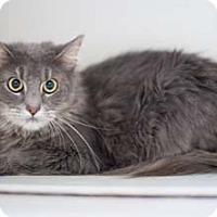 Maine Coon Cat for adoption in Merrifield, Virginia - Zeus