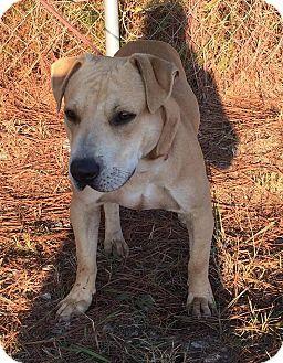 Labrador Retriever Mix Dog for adoption in Auburn, Massachusetts - Zeus