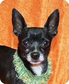 Chihuahua Mix Dog for adoption in Jackson, Michigan - Chico