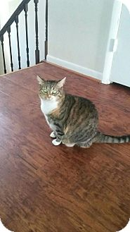 Domestic Shorthair Cat for adoption in Columbia, Maryland - Autumn_Courtesy Post