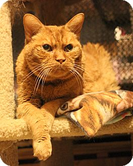 Domestic Shorthair Cat for adoption in Carlisle, Pennsylvania - Tator