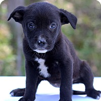 Adopt A Pet :: Gambia - Waldorf, MD
