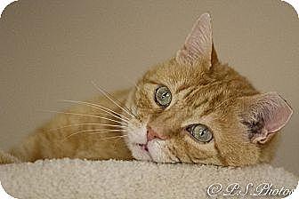 American Shorthair Cat for adoption in Belton, Missouri - Deja vu