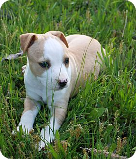 Pit Bull Terrier Mix Puppy for adoption in Manchester, Connecticut - ANGIE ADOPTION PENDING