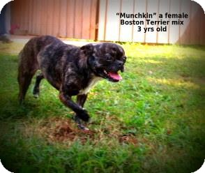 Boston Terrier Mix Dog for adoption in Gadsden, Alabama - Munchkin