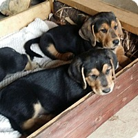 Adopt A Pet :: George & Fred - Knoxville, TN