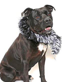 American Pit Bull Terrier Mix Dog for adoption in Gloucester, Virginia - JESSE