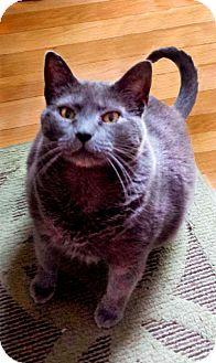Domestic Shorthair Cat for adoption in Alexandria, Virginia - Pepper