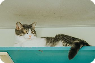 Domestic Shorthair Cat for adoption in Indianapolis, Indiana - Kukido
