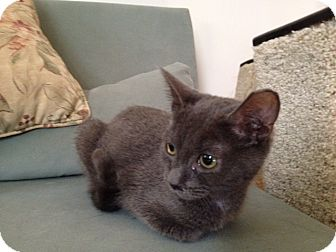 American Shorthair Kitten for adoption in New York, New York - Misty