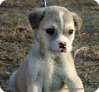 Australian Shepherd/Labrador Retriever Mix Puppy for adoption in parissipany, New Jersey - BOOMER/ADOPTED