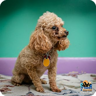 Poodle (Toy or Tea Cup) Mix Dog for adoption in Evansville, Indiana - Russell