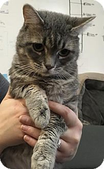 Domestic Shorthair Cat for adoption in Bakersfield, California - Clumbsy
