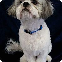 Adopt A Pet :: Shotzy Turner - Urbana, OH