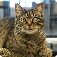 Domestic Shorthair Cat for adoption in Carroll, Iowa - Zoey