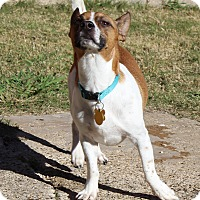 Jack Russell Terrier Dog for adoption in Garland, Texas - Buddy