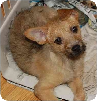 Terrier (Unknown Type, Small) Mix Puppy for adoption in Chula Vista, California - Scruffy