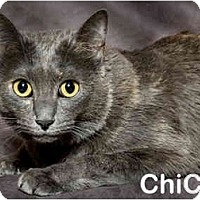 Adopt A Pet :: ChiChi (video) - Portland, OR