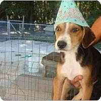 Adopt A Pet :: Rockie - Alexandria, VA