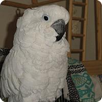 Adopt A Pet :: Snowball - Vancouver, WA
