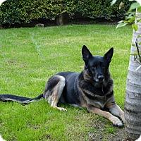 Adopt A Pet :: Bailey Girl - Santa Monica, CA