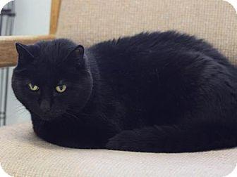 Bombay Cat for adoption in Long Beach, Washington - Blackie