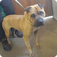 Adopt A Pet :: Travis - pending - Mira Loma, CA