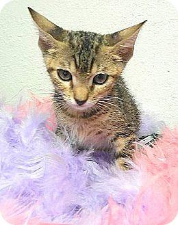 American Shorthair Cat for adoption in Miami Shores, Florida - Athena