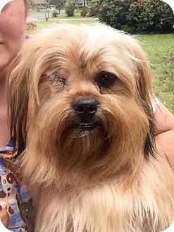 Lhasa Apso Dog for adoption in Shaw AFB, South Carolina - Benji