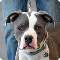 Pit Bull Terrier Mix Dog for adoption in Palmdale, California - Hero