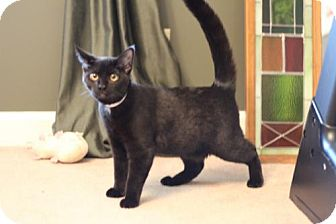 Domestic Shorthair Cat for adoption in Franklin, Tennessee - SEBASTIAN