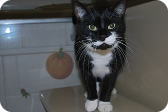 Domestic Shorthair Cat for adoption in New Castle, Pennsylvania - Little T