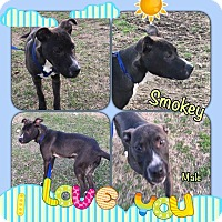 Adopt A Pet :: Smokey in CT - Manchester, CT