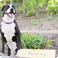 American Pit Bull Terrier Mix Dog for adoption in Hawthorne, California - Luna