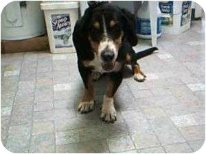 Basset Hound/Coonhound Mix Dog for adoption in Acton, California - Phil