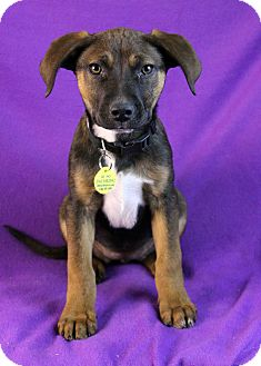 Shepherd (Unknown Type)/Australian Cattle Dog Mix Puppy for adoption in Westminster, Colorado - Nadia