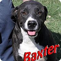 Adopt A Pet :: Baxter - Midland, TX