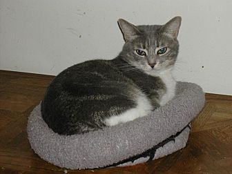 Domestic Shorthair Cat for adoption in Naples, Florida - Savannah