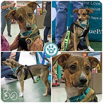 Italian Greyhound/Shepherd (Unknown Type) Mix Dog for adoption in Kimberton, Pennsylvania - Bo