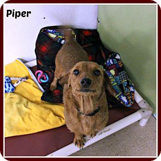 Dachshund/Schnauzer (Miniature) Mix Dog for adoption in New Richmond,, Wisconsin - Piper