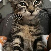 Adopt A Pet :: Simon - Brooklyn, NY