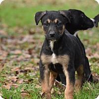 Adopt A Pet :: Devora - Groton, MA