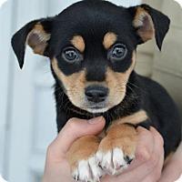 Adopt A Pet :: Sailor - Danbury, CT