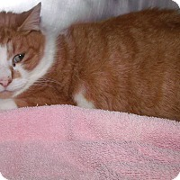 Adopt A Pet :: orange boy - Muskegon, MI