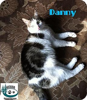Domestic Shorthair Cat for adoption in Huntsville, Ontario - Danny - Gentle Fellow!