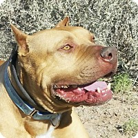 Adopt A Pet :: AWESOME Alabama ~ American Bully - Albuquerque, NM