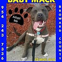 Adopt A Pet :: Baby Mack - Pompano beach, FL
