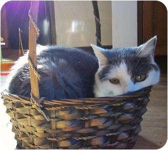 Domestic Shorthair Cat for adoption in St. Louis, Missouri - Margie