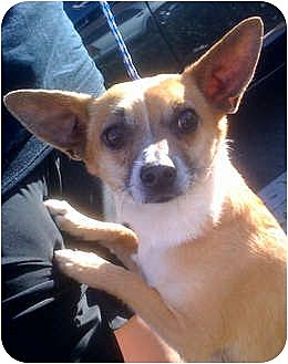 Corgi/Chihuahua Mix Dog for adoption in Porter Ranch, California - Rockee Starr(PRA)