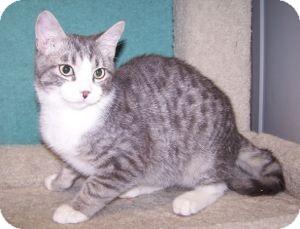 Domestic Shorthair Kitten for adoption in Colorado Springs, Colorado - K-Eva4-Flynn